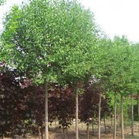 供应丝棉木、丝棉木价格、丝棉木树