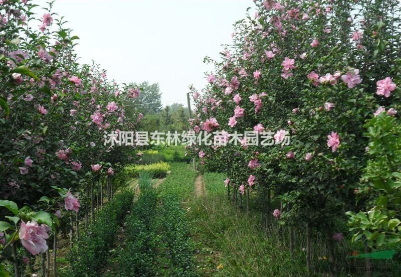 金叶女贞 红叶小檗 卫矛 木槿 迎春 绣线菊 榆叶梅