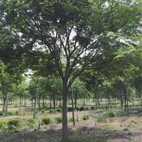 基地直銷落葉喬木行道樹櫸樹規格齊全量大優惠