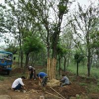 基地直销风景树丛生朴树原生丛生朴树移栽丛生朴树规格全量大优惠