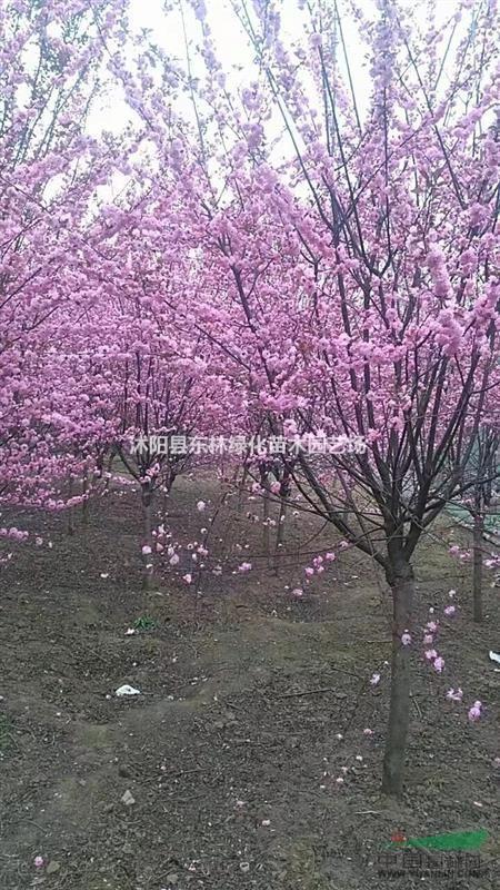 苗圃直销垂丝榆叶梅红叶垂丝大花榆叶梅规格齐全量大价优