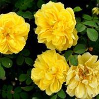 红瑞木、黄刺玫、凤尾兰、贴梗海棠、小叶栀子花、金银木