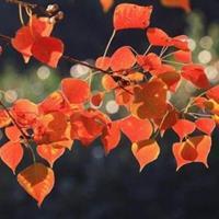合歡、白臘、垂槐、火炬、紅楓、烏桕、刺柏