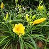 金娃娃萱草、红花绣线菊、大花萱草、红花酢浆草、鸢尾、白三叶草