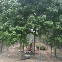 供應角楓價格、五角楓基地、五角楓產地、五角楓綠化苗木苗圃基地