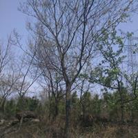 供应朴树价格、朴树图片、朴树产地、朴树绿化苗木苗圃基地