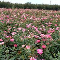 供應豐花月季價格、豐花月季圖片、豐花月季綠化苗木苗圃基地