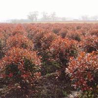 供红叶石楠球价格、红叶石楠球产地、红叶石楠球绿化苗木苗圃基地