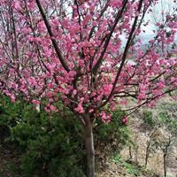 供應垂絲海棠價格、垂絲海棠圖片、垂絲海棠綠化苗木圃苗圃直銷