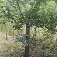 供應丁香價格、丁香圖片、丁香產地、丁香綠化苗木苗圃基地