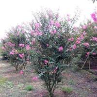 供应丛生紫薇价格、丛生紫薇产地、丛生紫薇绿化苗木苗圃基地