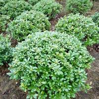 供海桐球价格、海桐球图片、海桐球产地、海桐球绿化苗木苗圃基地