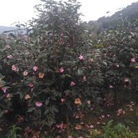 供應茶梅價格、茶梅圖片、茶梅產地、茶梅綠化苗木苗圃基地