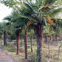 红王子锦带、木槿、棕榈、四季锦带