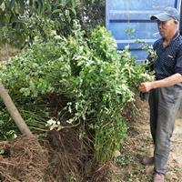 供应蔷薇价格、蔷薇图片、蔷薇产地、蔷薇绿化苗木苗圃基地