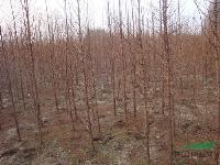 江苏水杉批发价格 专售7-15公分水杉