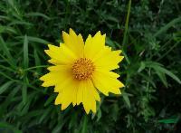 金鸡菊,金鸡菊种子,别名:剑叶波斯菊,金鸡菊基地,沭阳金鸡菊