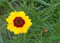 出口景观花卉种子,蛇目菊种子,又名小波斯菊、蛇木菊