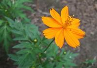 硫华菊,硫华菊种子,硫华菊种苗,别名:黄波斯菊、硫黄菊