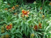 出口景观花卉种子,天人菊种子,别名虎皮菊、老虎皮菊