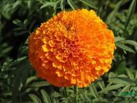 万寿菊种子,别名臭芙蓉,万寿灯,蜂窝菊,臭菊花,蝎子菊
