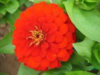 出口花卉种子-百日草种子,景观花卉种子,别名百日菊