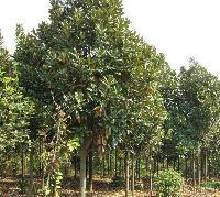廣玉蘭、桂花(金桂)、黃山欒樹