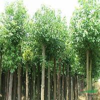 臭椿树、香樟树、朴树、水杉、板栗树