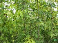 美人梅、榆叶梅、腊梅、七叶树