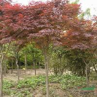 黄山栾树、美国红枫、杨树苗、红花紫薇