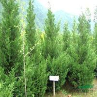 四季桂、喜树、中华金叶榆、池杉