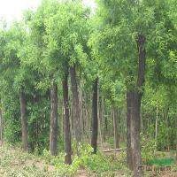 毛桃树、塔松、直升柳、八月桂