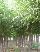 杜英、青皮柳、中华灯台树、银桂