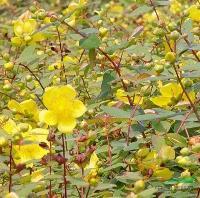贴梗海棠、小叶栀子花、金银木、金丝梅