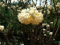 六月雪、结香、花石榴、豆辨黄杨