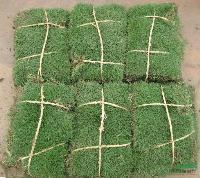 马尼拉、四季青、沿阶草、中华结缕草、百慕大