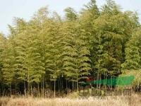 刚竹、金镶玉竹、箬竹、青皮竹
