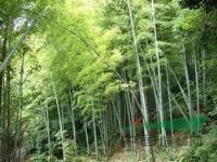 雷竹、四季竹、紫竹、凤尾竹