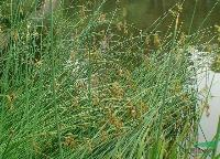 灯芯草,灯芯草苗,灯芯草种子,别称:灯芯草、蔺草、龙须草