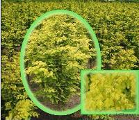 金叶水杉,供应金叶水杉,供应水杉,江苏水杉,金叶水杉价格