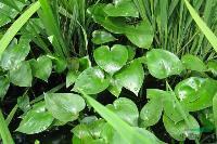 水生植物-雨久花,雨久花苗,雨久花,又名 浮蔷、蓝花