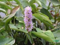 水生植物-海寿花,白花海寿花,海寿花苗,海寿花