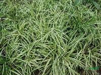 金叶苔草,金叶苔草直销,苔草,沭阳金叶苔草,苔草价格