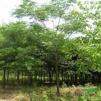 青桐、柿子树、青枫、大叶女贞、紫叶李、意杨、苦楝、臭椿树、