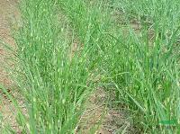 地被植物-斑叶芒,斑叶芒种子,苏北斑叶芒