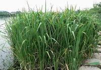 水生植物-野茭白,野茭白苗,苏北野茭白,别称:水笋、茭白笋