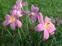 韭兰,大花韭兰,大花韭兰,又名红花葱兰,韭菜兰
