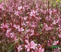 地被植物-紫叶千鸟花,紫叶千鸟花种子,苏北紫叶千鸟花