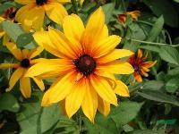 地被植物-黑心菊,黑心菊种子,苏北黑心菊,黑心菊基地,黑心菊