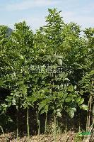 花梨木(红豆树、红宝树)